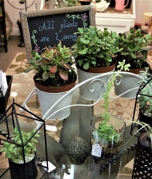Succulents(2)